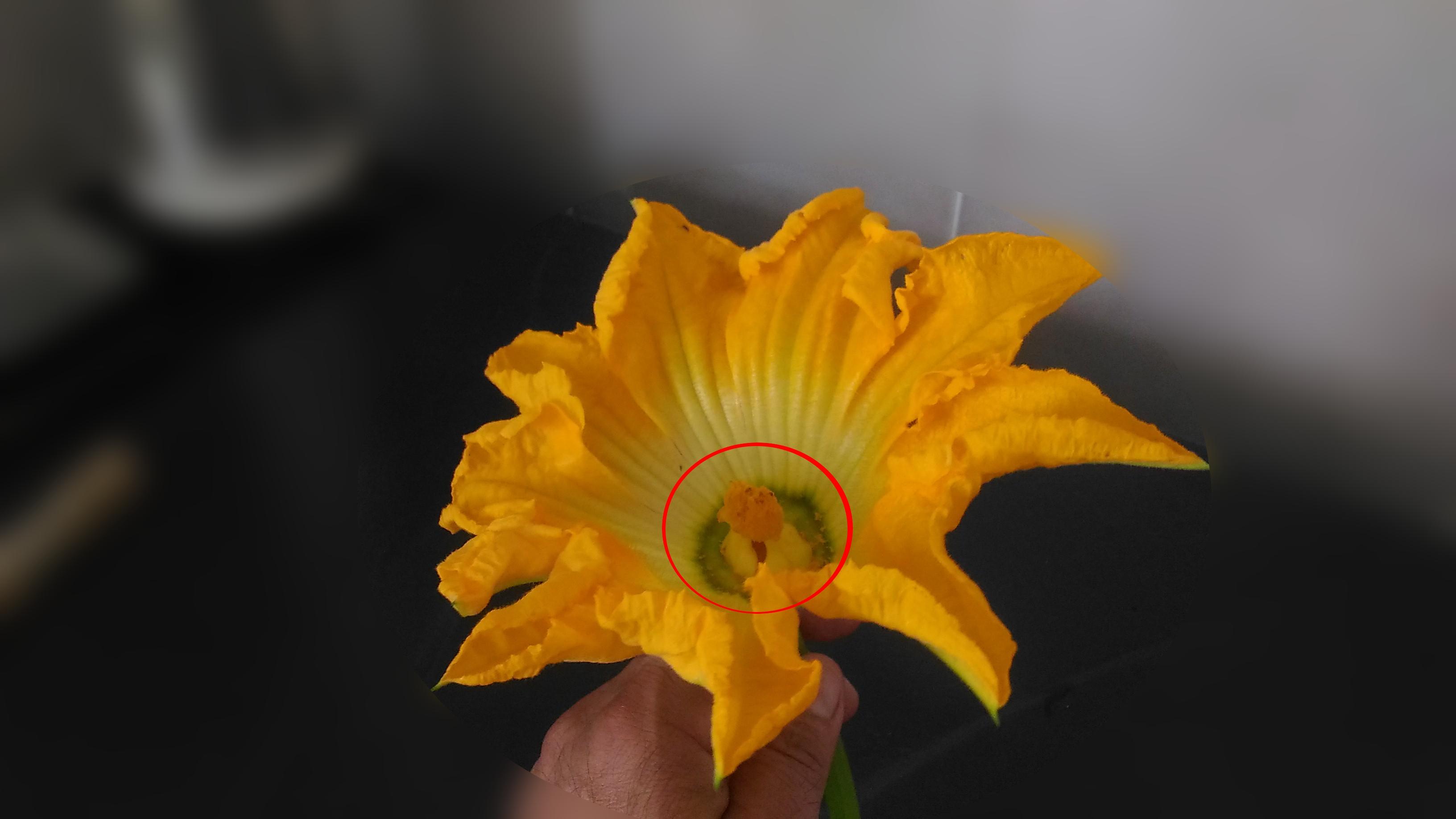 Doppio Stilo del fiore